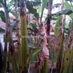 Gedebog / Batang Pohon Pisang Sebagai Pakan Sapi