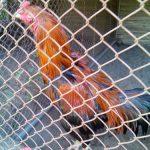 Beternak Jenis Ayam Bangkok sebagai Ayam Pedaging