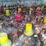 Beternak Ayam Petelur dengan Sistem Umbaran