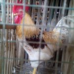 Memperoleh Ayam Jantan saat Membeli Anakan Ayam petelur