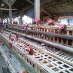 Harga Jual Daging Ayam Petelur – November 2016