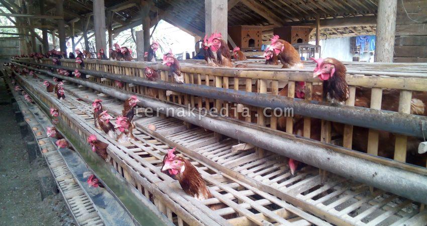 Untuk Ayam Petelur Jika Sudah Berusia Lebih Dari 20 Bulan Maka Ini Akan Dianggap Tua Produksi