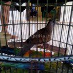 Klasifikasi, Ciri Fisik, dan Cara Hidup Burung Perkutut