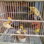Melatih Kicauan Burung Kenari dengan menggunakan Rekaman Suara