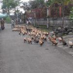 Harga Anakan Ayam dan Anakan Bebek