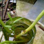Faktor Keberhasilan Berkebun Kangkung dalam Aquarium