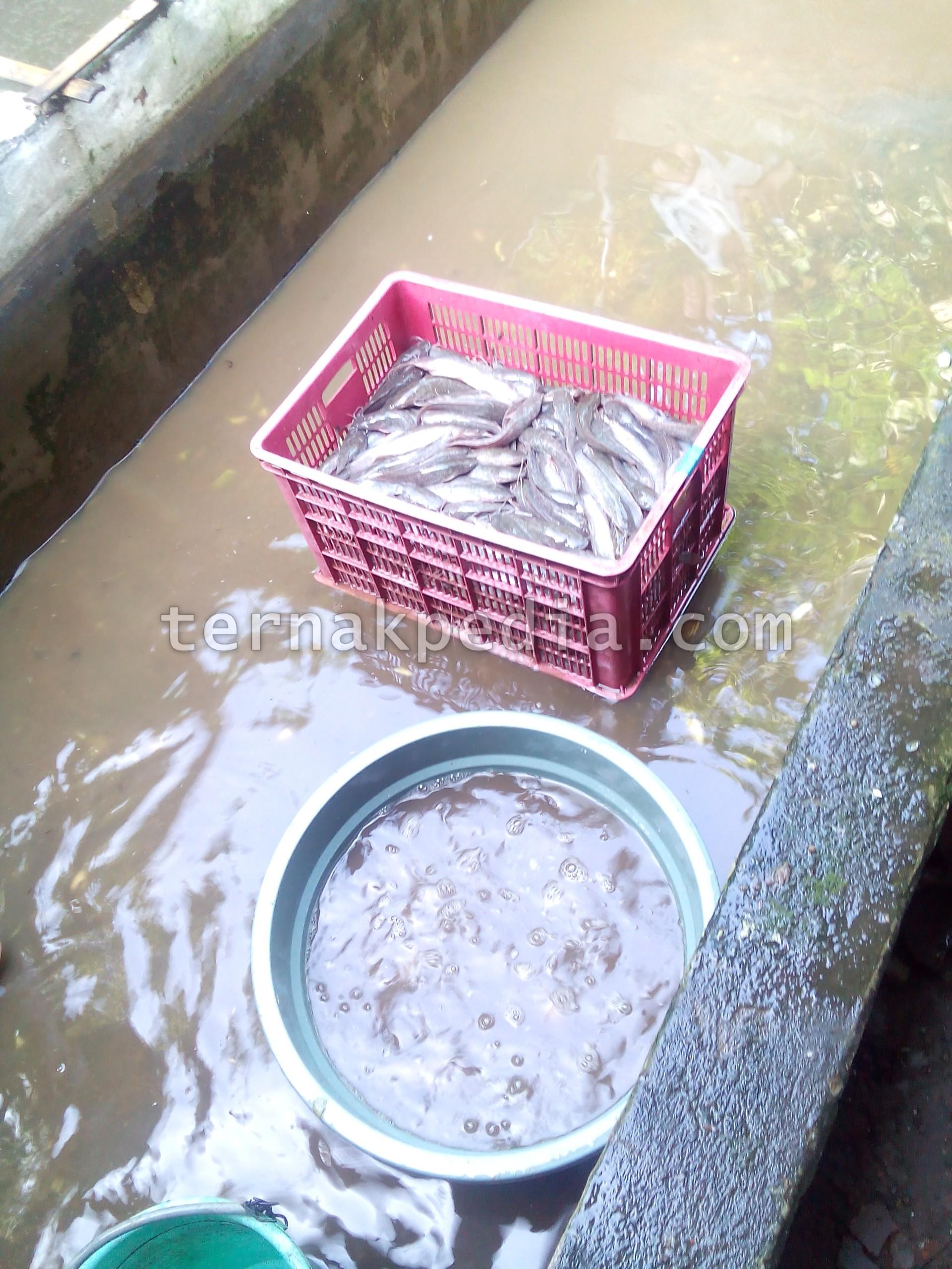 Data Penjual Ikan di Indonesia