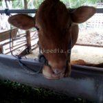Harga Pakan Alternatif untuk Ternak