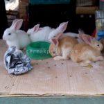 Harga Kelinci dan Daging Kelinci
