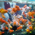 Beberapa Jenis Ikan yang dapat Dilatih untuk Menggantikan Ikan Garra Rufa dalam Terapi Ikan