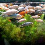 Jenis Ikan yang dapat Menggantikan Ikan Garra Rufa dalam Melakukan Terapi Ikan