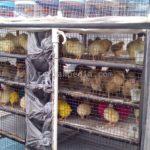 Harga Bibit Ayam dan Bebek di Pedagang Keliling