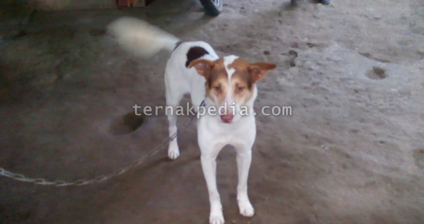 Makanan Anjing Kampung Anjing Lokal Ternakpedia