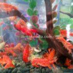 Lobster Mini Air Tawar sebagai Penghias Aquascape