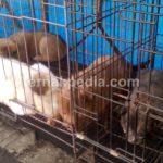 Harga Anjing Kampung / Lokal