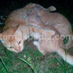 Perbedaan Sikap dan Perilaku Kucing Jantan dengan Kucing Betina
