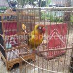 Harga Anakan Burung Love Bird