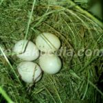 Sarang Burung Liar di Pohon Pisang