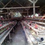 Mengatasi Masalah Bau yang Ditimbulkan oleh Kotoran Ayam Petelur