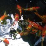 Ikan Koi yang Baru Dibeli Banyak yang Mati Ketika Dikarantina
