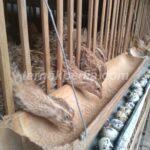 Metode yang digunakan untuk Beternak Burung Puyuh